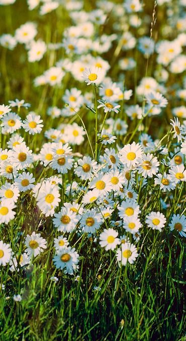 ARC's daisy meadow. Our virtual daisy meadow offers a special place for remembrance where you can write a personal dedication and have a daisy added to mark your loss.                                                                                                                                                      More