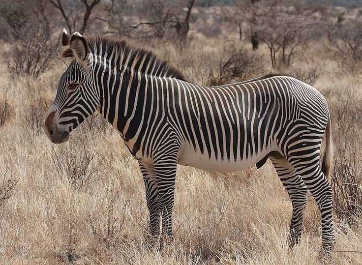 Grevy's Zebra with no stripes under the belly