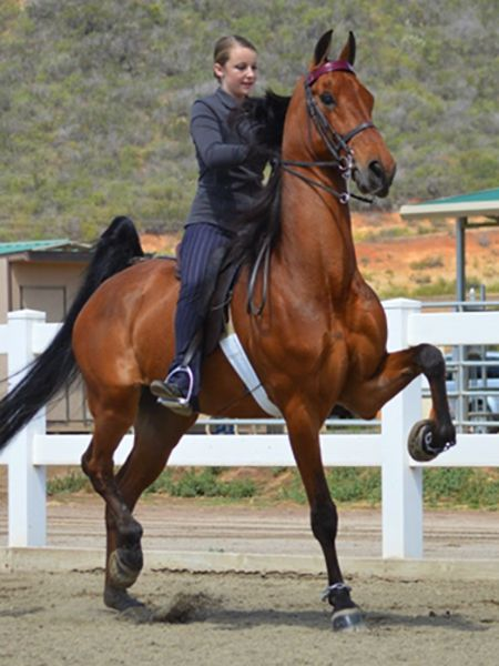 American Saddlebred. DeLovelysLastTango.