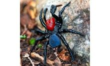 The mouse spider (Missulena sp.)There are eight species of mouse spider found all across Australia and they're typically found in burrows, o...