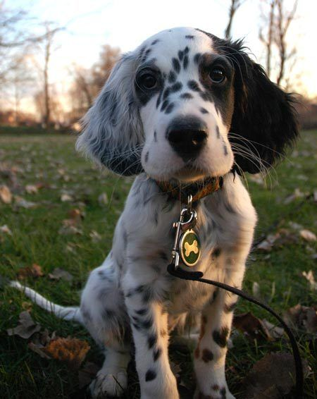 English Setter.  16 yrs with Rebel and Orange belton and Roxanne, a tri-color.  What wonderful dogs they were and so good to our children when they were young.