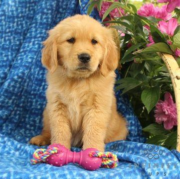 White Golden Retriever Puppies Ct English Cream Holistic Nj Md Ma