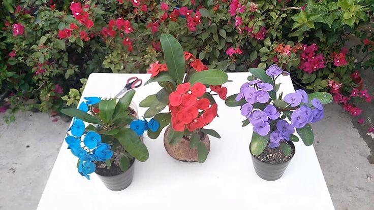 Corona De Cristo Azul,Morada,Roja? / Plantas Corona De Cristo Azul,Morad...