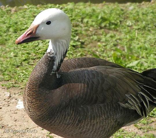 Snow Goose Migration spring & fall