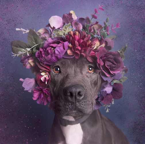 Sophie Gamand Photography is changing the perception of pit bulls with her Pitbull Flower Power project. (and it's too cute for words!)
