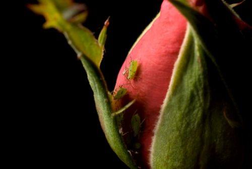 Parassiti rose e Aglio