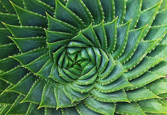 Aloe Polyphylla spiralförmig Sukkulente, 5 seltene Samen, fast ausgestorben, kühle Klima Aloe, native Lesotho, Südafrika, Sammler Anlage