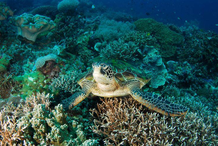 Et af de bedste steder at snorkle og dykke i Filippinerne (ja, okay, der er faktisk rigtig, rigtig mange!) er på Apo Reef!