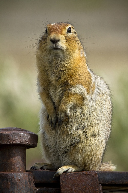Arctic Ground Squirrel in Denali National Park #Alaska