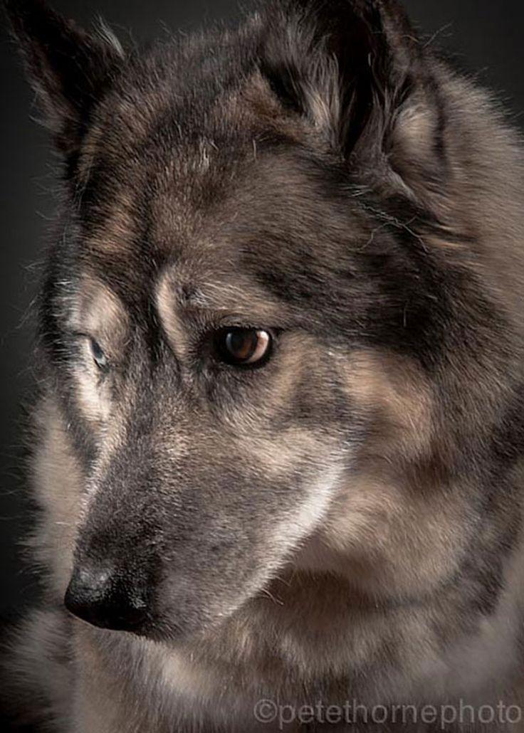 Maximus, 15 años  Old Faithful: Conmovedora Serie de Retratos de Perros en Avanzada Edad | FuriaMag | Arts Magazine