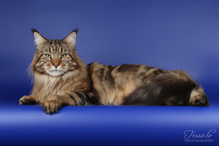 Maine Coon, black tabby blotched (n 22). Photo by #tess.lv