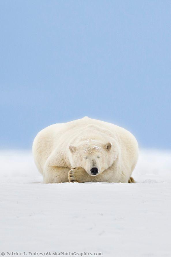 Have a good sleep. Polar Bear Sleeping in Alaska's Arctic by Patrick J Endres.                                                                                                                                                                                 もっと見る