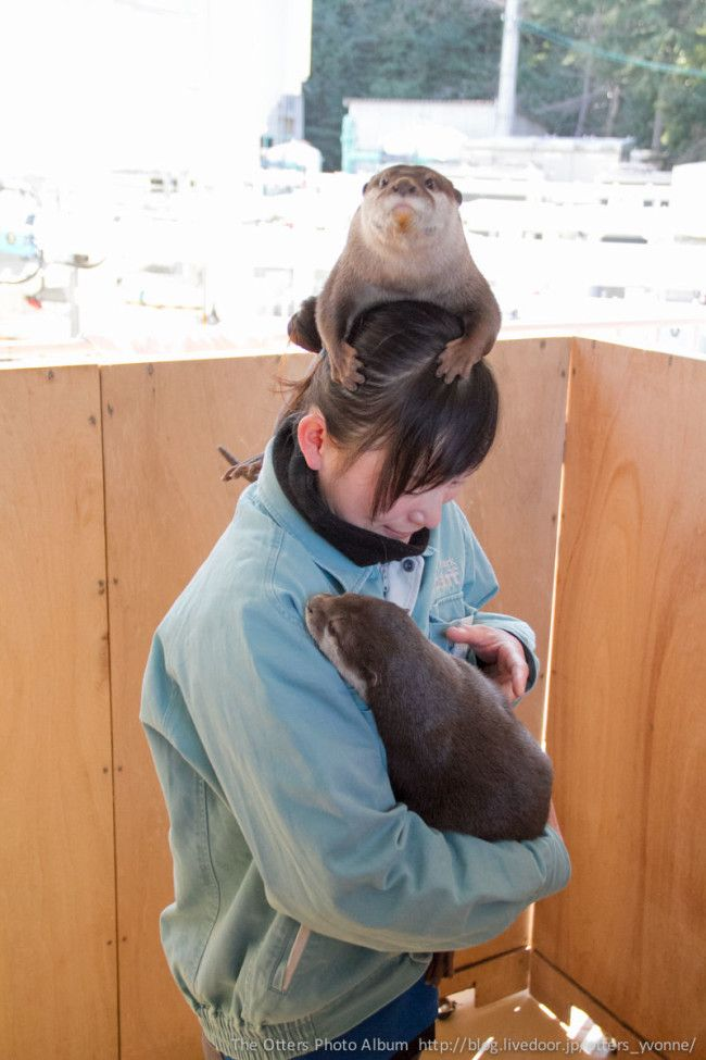 Not content to be held in the keeper's arms, otter perches on her head instead - May 5, 2014