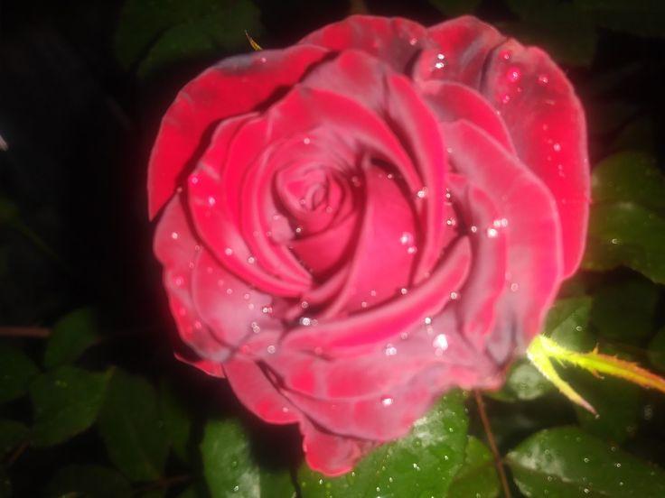 Best 25+ Black Magic Roses Ideas On Pinterest