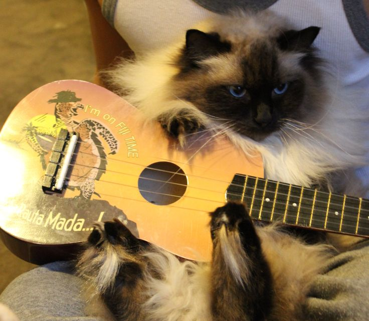 Binny playing the Ukulele, not very well :) #uke #ukulele #cat #kitten #cute