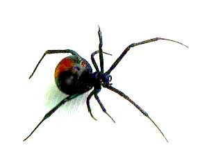 REDBACK SPIDER: This is a member of the deadly widow family of spiders, as in Black Widow, but the Australian version. The female is easily recognisable by her black body with a prominent red stripe on the upper side of her abdomen. Females have a body length of about a centimetre while the male is smaller, being only 3 to 4 millimetres long. Like its Black cousin, the Redback spider is one of few arachnids which display sexual cannibalism while mating.