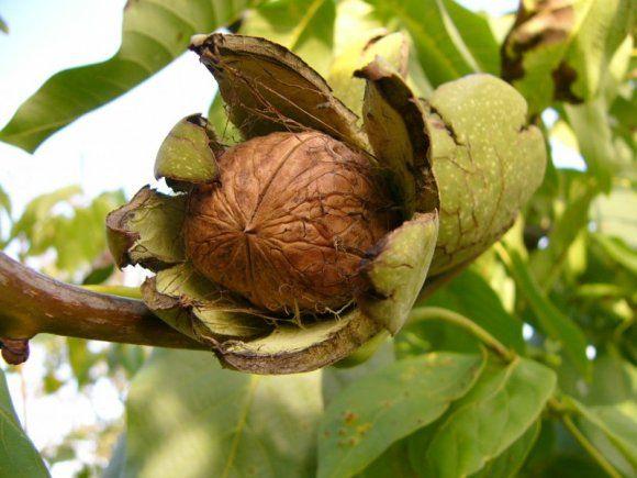 Vlašský ořech (ořešák vlašský, ořešák královský)