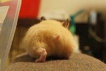 Hamster Butts!! :)