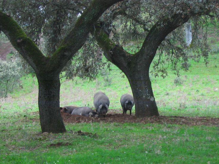 Cerdos en campo. en una de las fincas del parque.