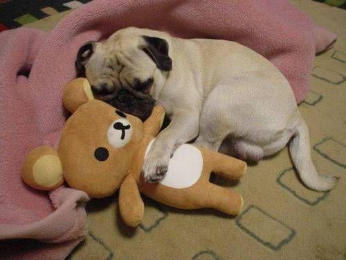 I love you Mr. Bear.: Pugs Puppies, Dogs, Friends, I Love You, Teddy Bears, Animal Photo, Precious Puggi, Pugs Life, Pugs Drugs