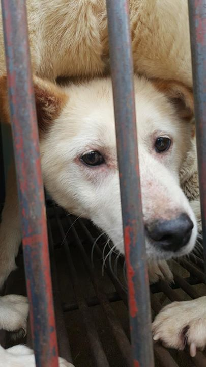 Petition update. Eyes of the dogs in South Korean Dog Meat Trade… Please save me from this torture and death…Nami Kim - Photos from Nami Kim's post | Facebook