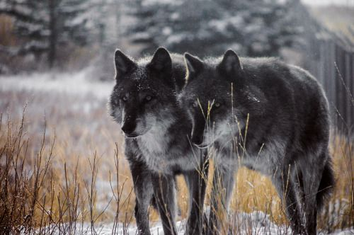 Grey wolf brothers captured near Yellowstone National Park.