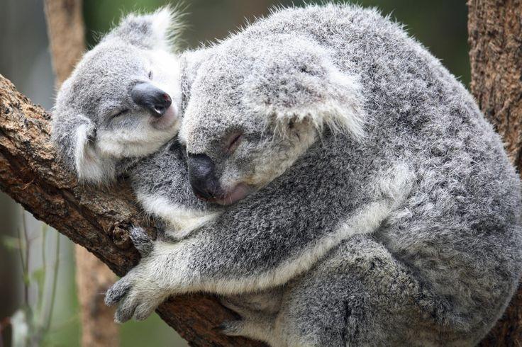Super cute koala cuddles. animals koalas Awesomely