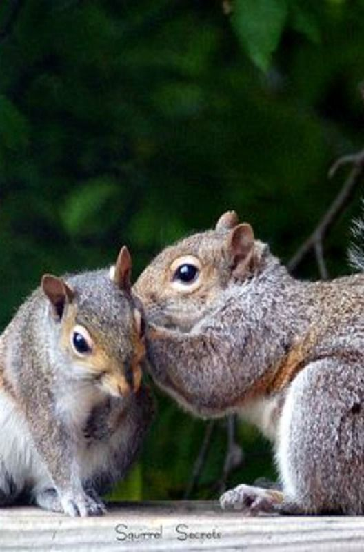 """Did you hear about Billy being caught with Rocky's nut stash?.?.?. (The original,""""Secret Squirrels""""."""