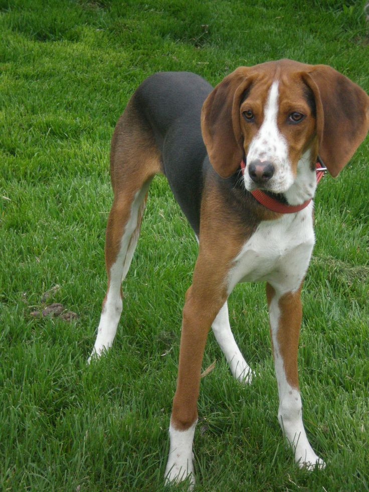 Treeing Walker Coonhound Our Piper When She Will Be Fully
