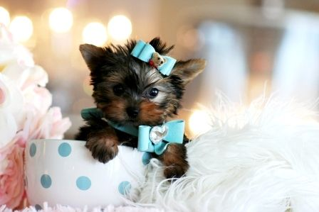teacup yorkie , prolly one of the most adorable dogs!!(: WANT!!!