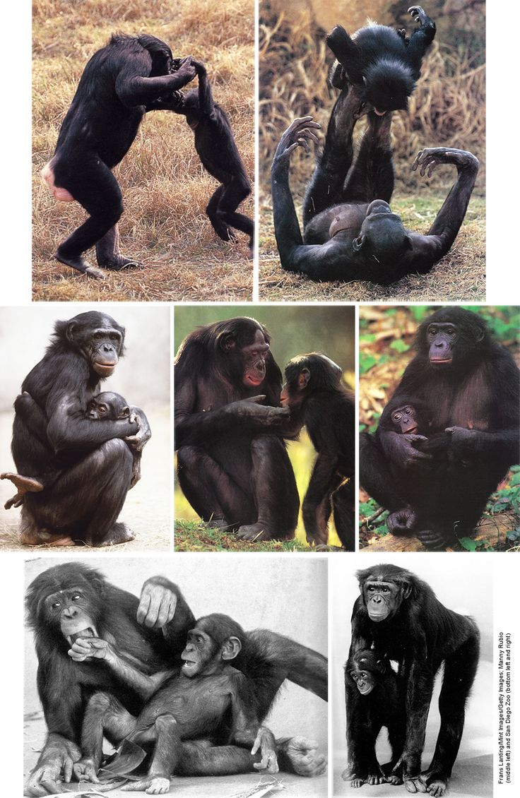 Photos of bonobos with infants reveal something of just how exceptionally nurturing bonobo females are–and even males, because the bottom left photo is of a male lovingly playing with an infant. Bonobos clearly have the environmental comfort and the freedom from fighting and tension in their world needed to develop the ability to love their infants. Biologist Jeremy Griffith