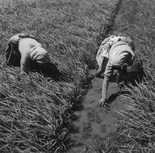 Monda do arroz, Salvaterra de Magos, 1954. Tags: Artur Pastor Portugal