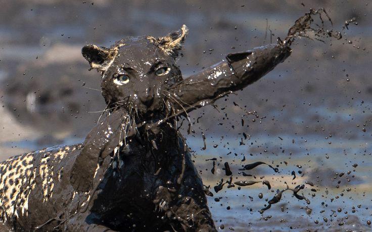 Curiosa foto de un leopardo pescando un pez en el canal Savuti de Botswana (Abel Coelho, 2015)