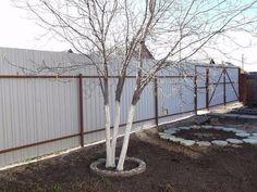 Состав побелки для плодовых деревьев | Дачники