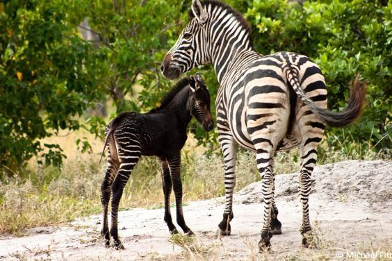 The Botswana government just tweeted this picture of a rare black Zebra foal spotted in the Okavango delta