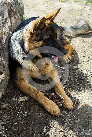 German Shepherd - A German shepherd dog resting in shade. Photo taken on: February 20th, 2015