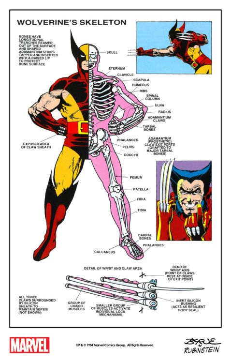 Wolverine's skeleton with mechanical drawings by Eliot R. Brown and art by John Byrne, Frank Miller and Josef Rubinstein from The Official Handbook of the Marvel Universe #15 (1984) remastered by The Marvel Project.