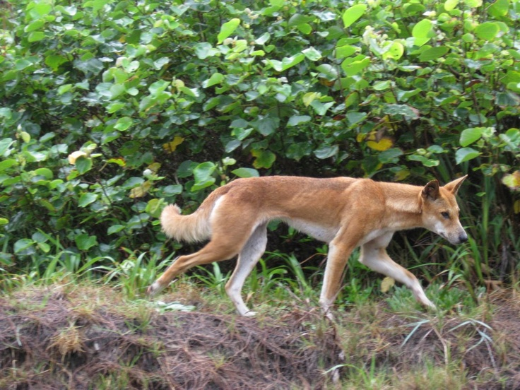 an analysis of the canis familiaris dingo species of the animal kingdom in australia One of these is the dingo (canis lupus dingo) the only wild subspecies of wolf to be be found in the southern hemisphere, dingoes are, however, not unique to australia, also being found in thailand, and likely also in other parts of southeast asia and the neighbouring islands.