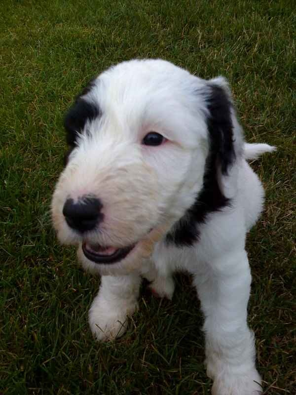 2846 best Dogs/Puppies images on Pinterest | Doggies, Poodles and ...