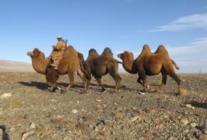 """Resistono sino a dieci mesi senz'acqua. Il loro addomesticamento ha reso possibile il commercio su lunga distanza. Ancora oggi i cammelli sono la più importante fonte di latte, carne, cuoio e lana per i nomadi dell'Arabia e in ampie parti dell'Africa. """"Le navi del deserto: storie di uomini e cammelli"""" del regista austriaco Georg Misch, uno dei 10 film in concorso al #GranParadisoFilmFestival, è un viaggio epico attraverso tre continenti."""