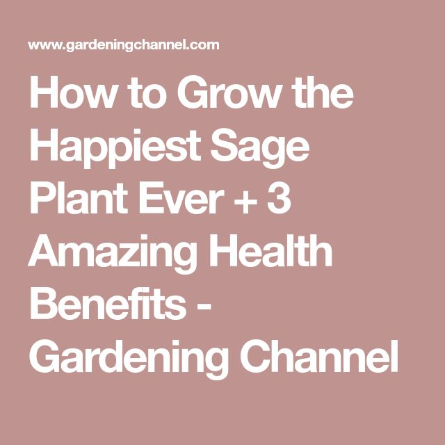 How to Grow the Happiest Sage Plant Ever + 3 Amazing Health Benefits - Gardening Channel