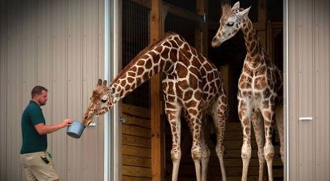 "HARPURSVILLE, N.Y. — Animal Adventure park has some exciting news for fans of April the Giraffe. Veterinarians told zookeepers they expected the giraffe to give birth Friday. They would be shocked if she went through the weekend without giving birth.  Animal Adventure Park began streaming on Feb. 23 on YouTube showing April preparing to give birth, drawing worldwide attraction. The video was initially removed after animal rights activists flagged the videos as ""sexually explicit"" before…"