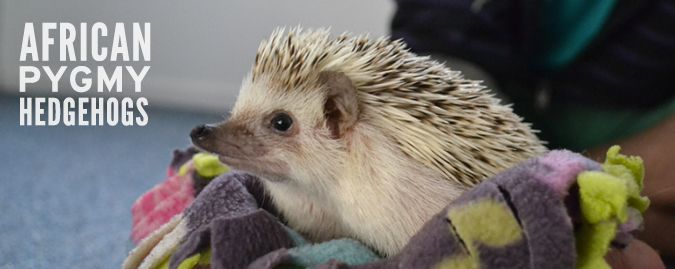 The African pygmy hedgehog is by far the most common species of domesticated hedgehog. Here is the information you should know before taking home your pet.