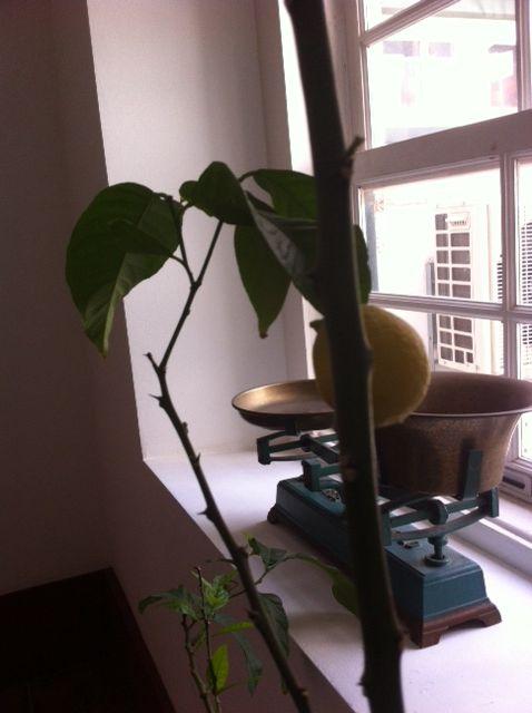 Our sweet lemon guest...