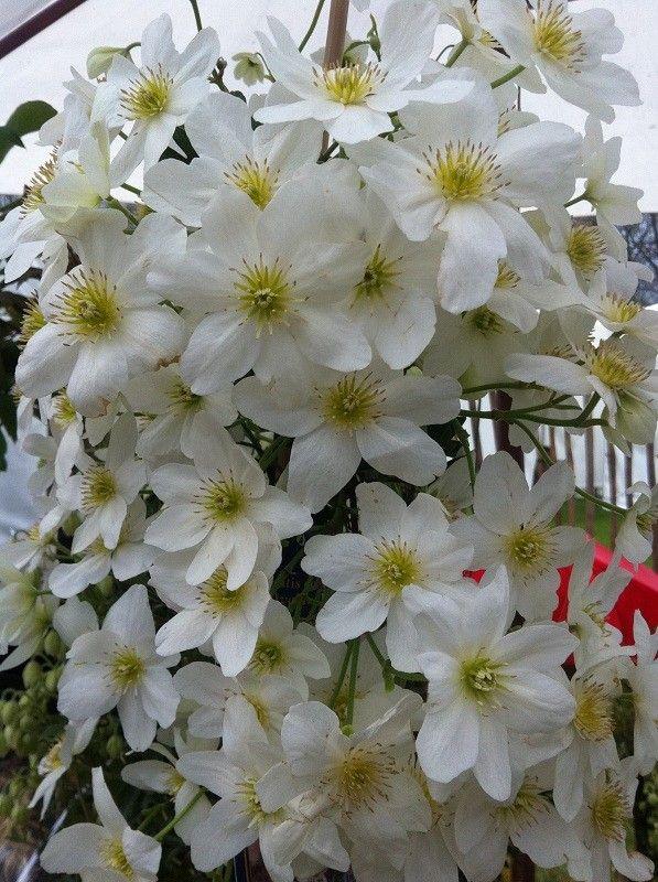 Clematis cartmanii Avalanche  Deze groenblijvende klimplant is matig winterhard en heeft een standplaats nodig op een beschutte plek uit de koude wind. De heester wordt 2 à 3 meter hoog en heeft diep ingesneden groen blad.  Clematis cartmanii Avalanche | bloeit in maart/april met witte bloemen met een geel hart. De bloemen zijn vrij groot. De plant staat graag in vochtige normale tuingrond, die waterdoorlatend is.