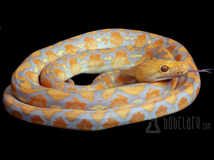 Lavender albino tiger reticulated python - photo#6