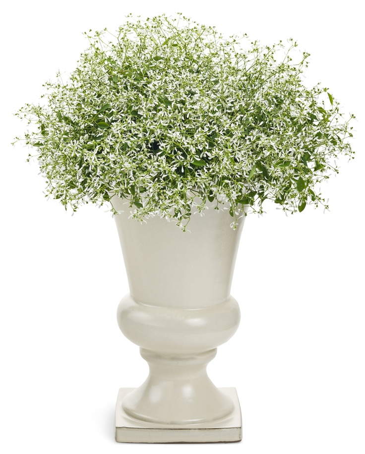 The light and airy Euphorbia 'Diamond Frost'