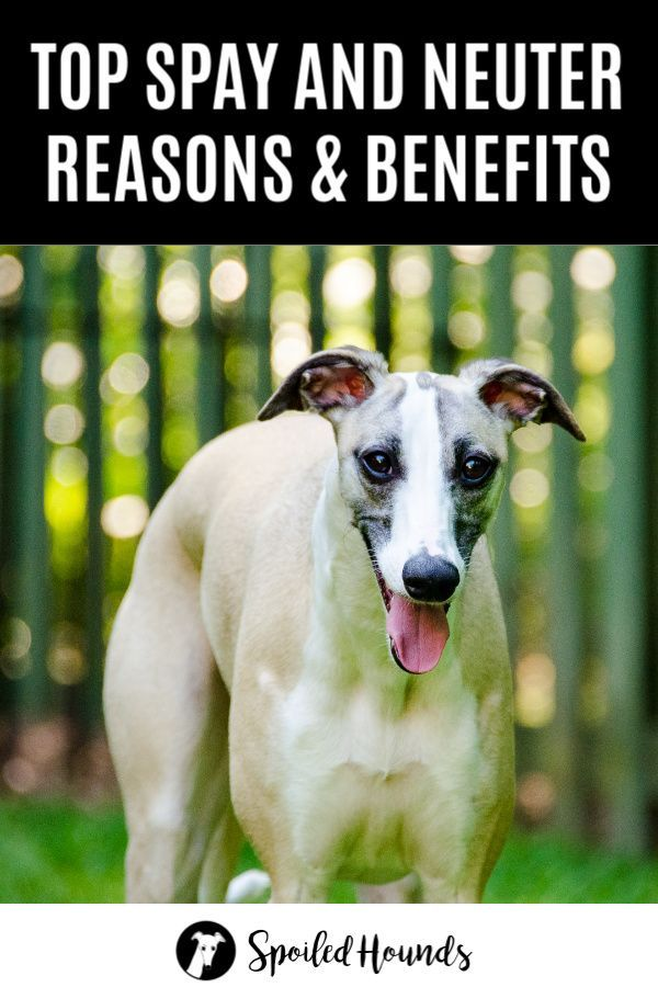Why Spay Or Neuter A Dog Top Reasons And Benefits Dog Spay