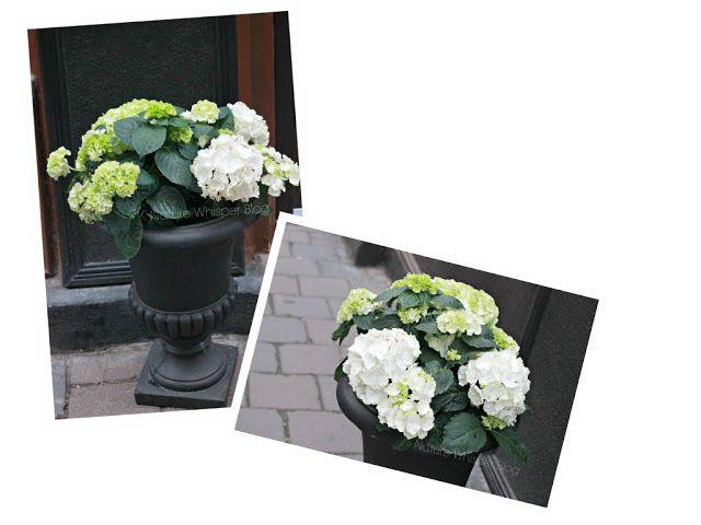 House Plants: Hydrangea In Door Care | NATURE WHISPER