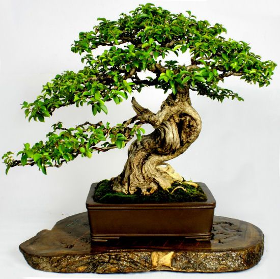 25 best ideas about bonsai tree types on pinterest